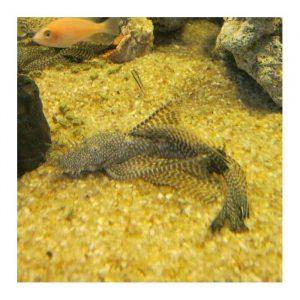 Ribice za akvarijum: Ancistrus šlajer