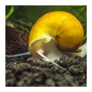 Puževi: Apple snail