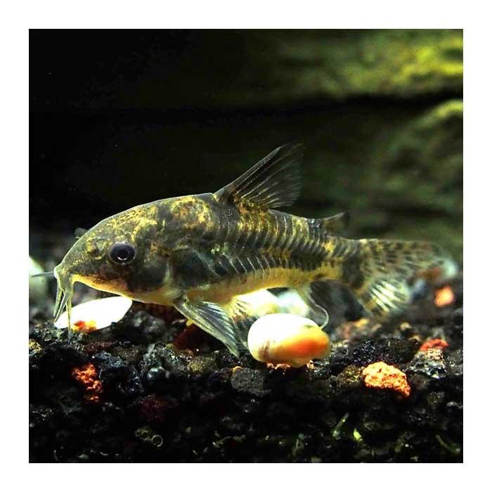 Ribice za akvarijum: Corydoras Paleatus