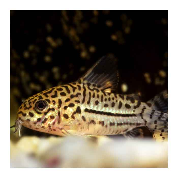 Ribice za akvarijum: Corydoras Trilineatus