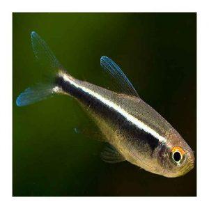 Ribice za akvarijum: Crna neonka