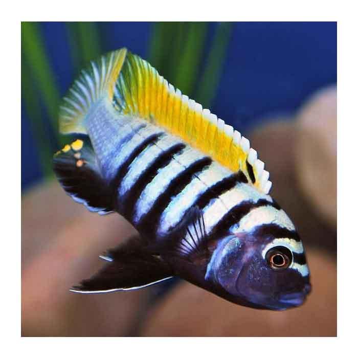 Ribice za akvarijum: Cynotilapia Afra Haii Reef