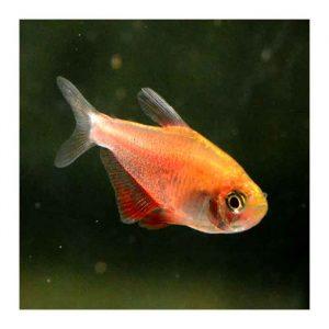 Ribice za akvarijum: Flameus tetra