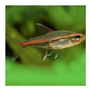Ribice za akvarijum: Gracilis tetra