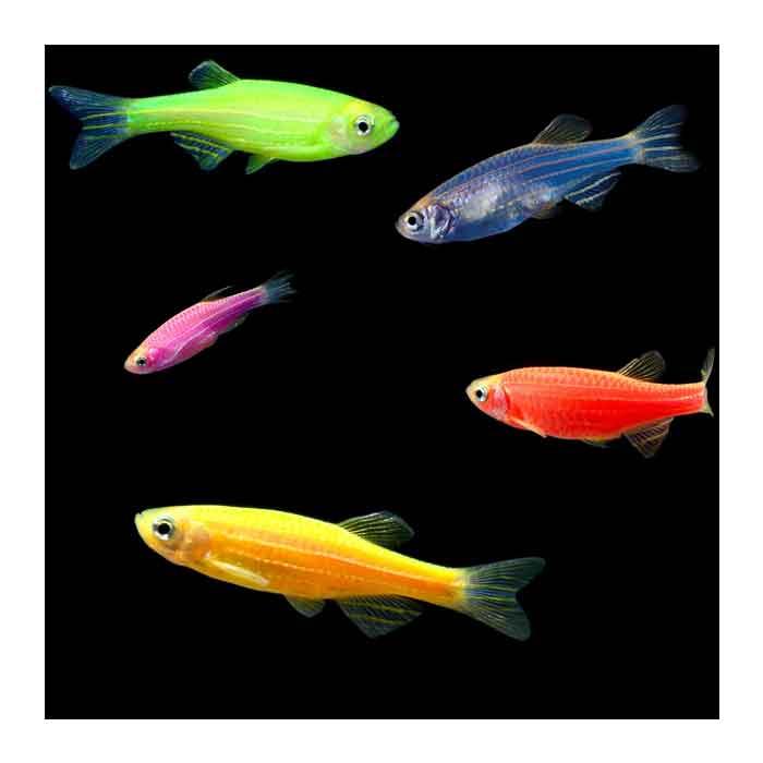 Ribice za akvarijum: Kolor zebrica