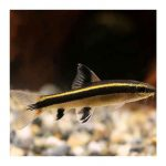 Ribice za akvarijum: Lisica