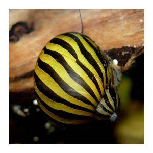 Puževi: Nerita snail