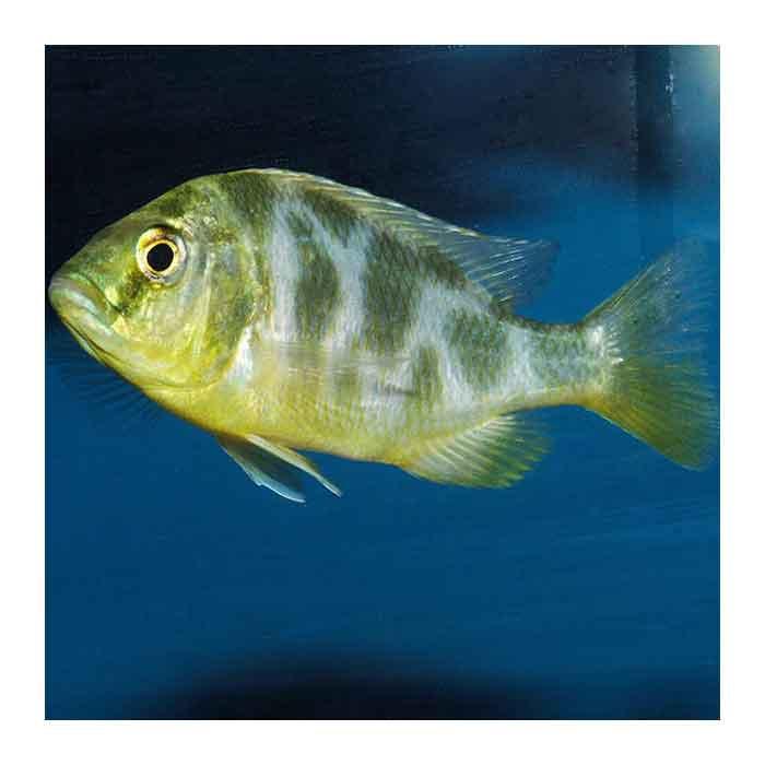 Ribice za akvarijum: Nimbochromis Venustus