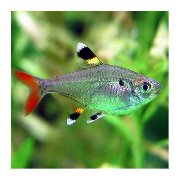 Ribice za akvarijum: Pristela tetra