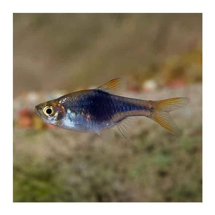 Ribice za akvarijum: Razbora plava