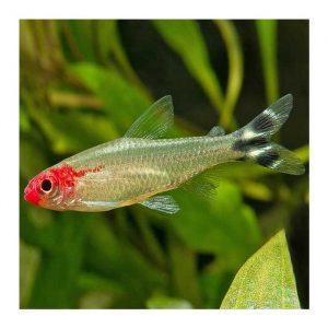 Ribice za akvarijum: Rodostomus