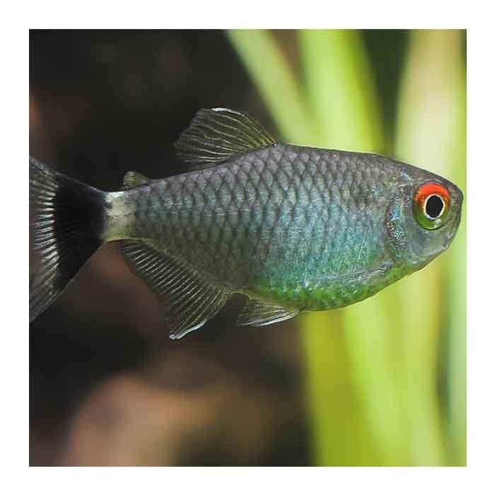 Ribice za akvarijum: Santa Filomena