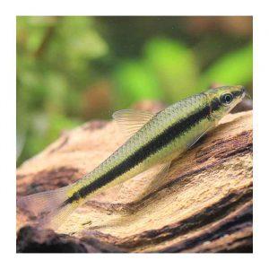 Ribice za akvarijum: Sijamski algar