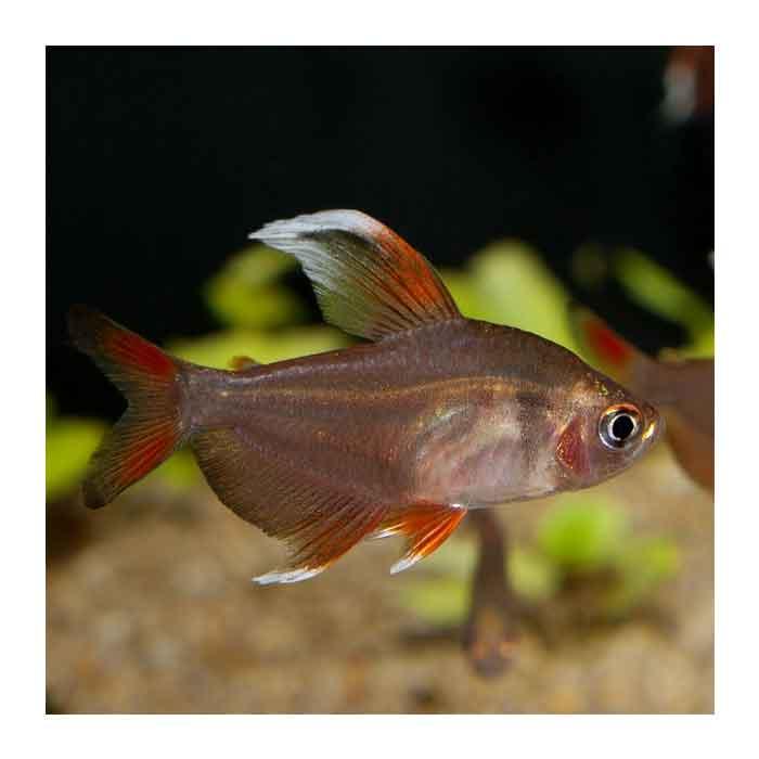 Ribice za akvarijum: White Fin tetra