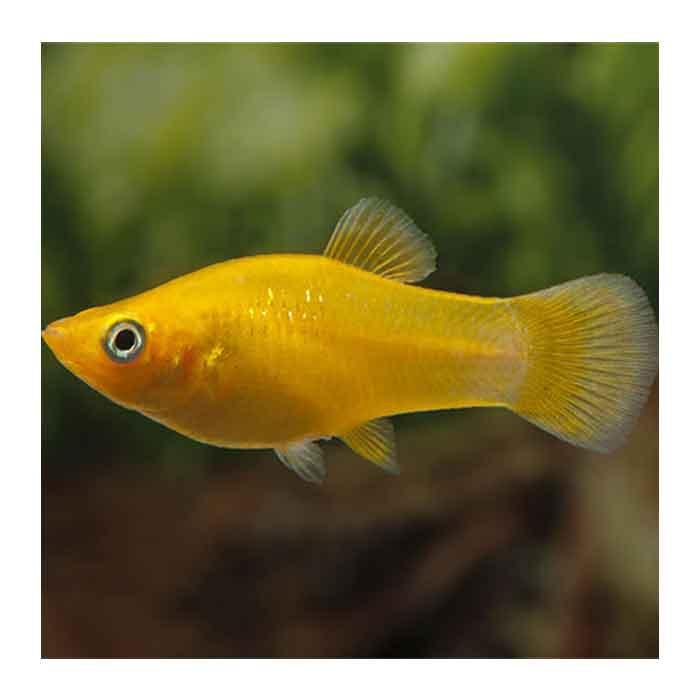 Ribice za akvarijum: Žuti Moli